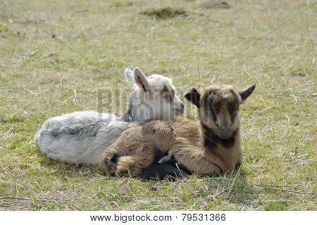 Two Cute Goatlings Outdoors
