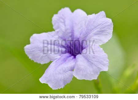 Ruellia Flower Isolated On Green.