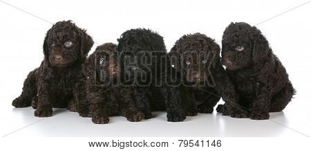 litter of five barbet puppies laying on white background - 5 weeks old