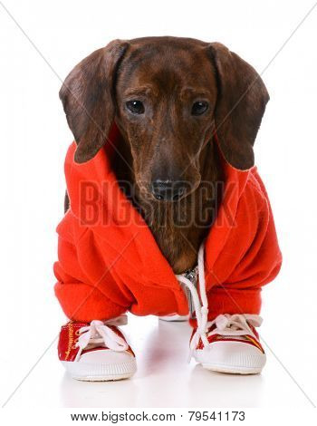 sports hound - dachshund wearing jacket and running shoes  standing on white background