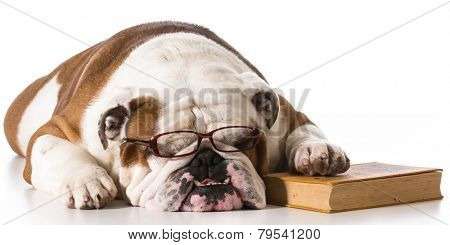 dog wearing reading glasses with book on white background - english bulldog