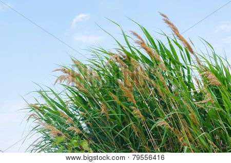 Fresh green reeds on the bank of water reservoir