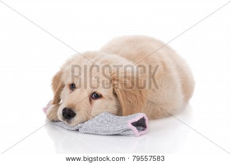 Height Weeks Old Golden Retriever Laying Down On Sock