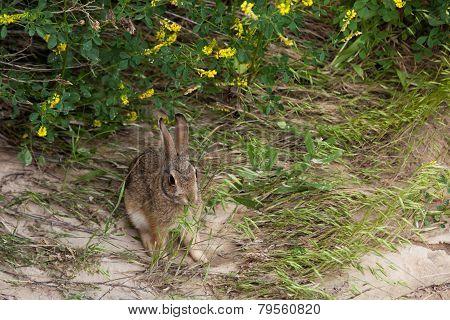 Wild Jack Rabbit