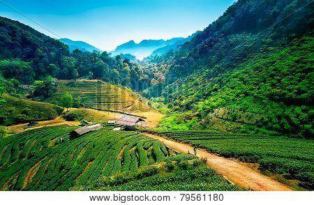 Tea Plantations On Angkhang Mountain, Chiang Mai, Thailand