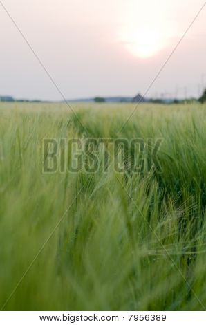 Soft Corn Field