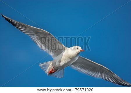Sailing Seagull