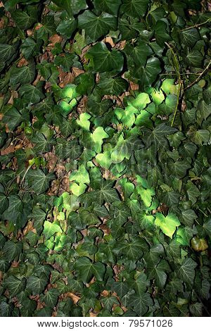 Green Cross Mark On Ivy Leaves