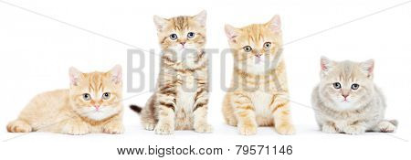 set of four british shorthair kitten cat on white background