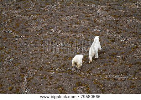 Arctic Polar Bear In Natural Environment