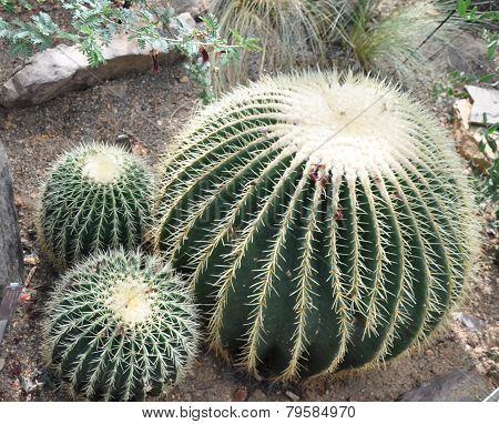 Family of cactus.