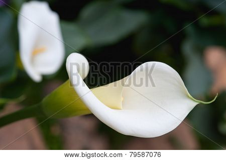 Close Up Beutiful Calla Lily On Garden