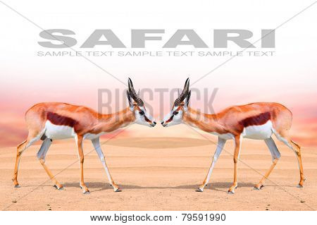 Two Springbok Antelope (Antidorcas marsupialis) with space for your text.