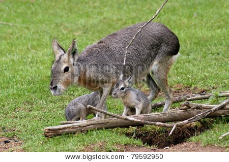 Patagonian mara (Dolichotis patagonum) with two cubs.