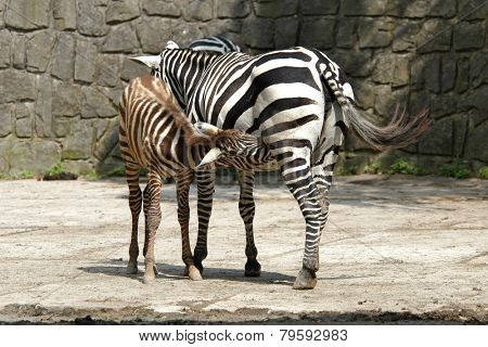 Selous' zebra (Equus quagga selousi) feeding its calf