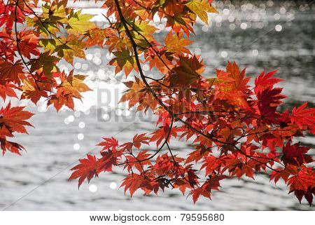 Red Maple Leaves and Lake Background