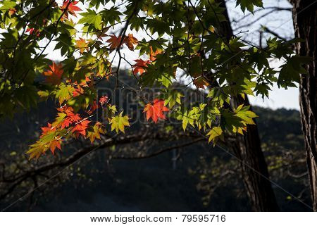Red and Green Maple Leaves South Korea