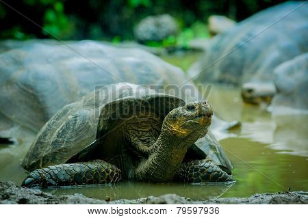 giant turtles in san cristobal galapagos islands