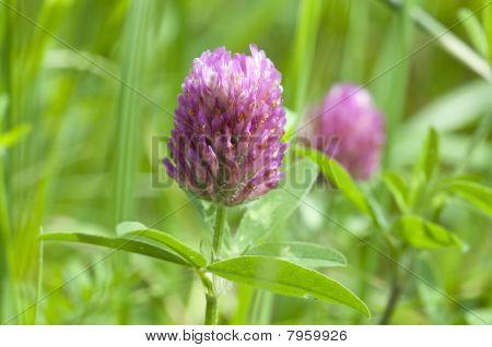 Clover - Trifolium