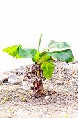 stock photo of banana tree  - banana tree on ground isolated on white background - JPG