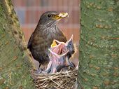 image of mother baby nature  - blackbid mother feeding her three hungry babies - JPG