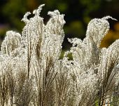picture of pampas grass  - Beautiful American pampas grass in a garden - JPG