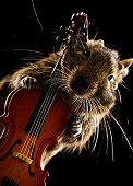 foto of viola  - degu pet musician with viola isolated on black background - JPG
