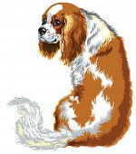 stock photo of lap  - blenheim cavalier king charles spaniel - JPG