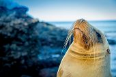 stock photo of sea lion  - closeup portrait of sea lion - JPG