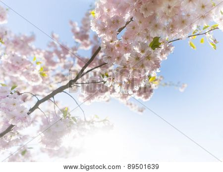 Pink Cherry Flowers On Bright Blue Sky