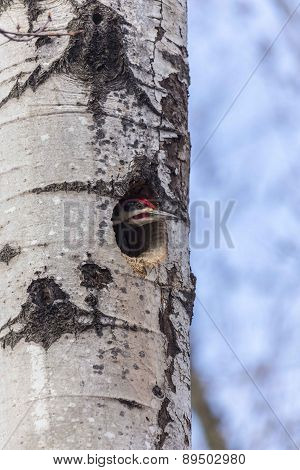 A female Woodpecker in a tree