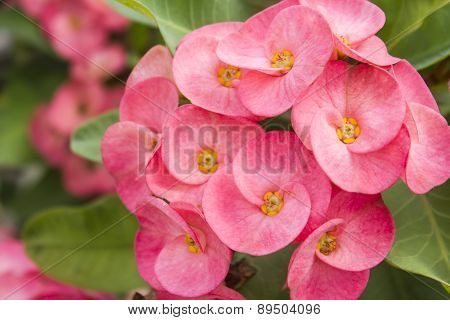 Macro Euphorbia Milli Desmoul, Crown Of Thorns Or Christ Thorn Flower.