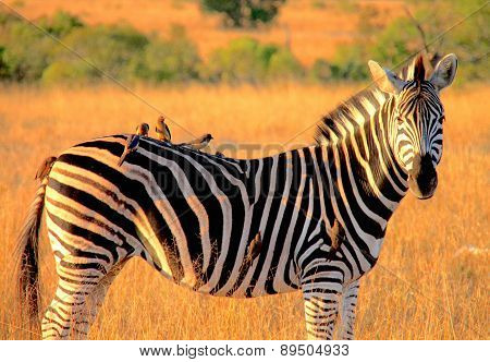 Zebra and Birds