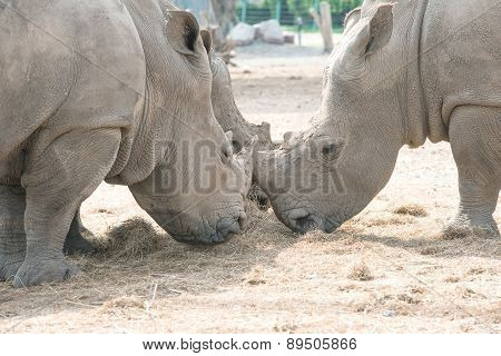 White Rhino Eating Dry Grass