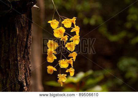Yellow Honey Fragrant Orchid ( Dendrobium Lindleyi Steud) On Large Tree In Natural Forest