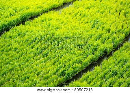 Rice Terraces In The Philippines. The Rice Crops. Rice Cultivation In The North Of The Philippines,