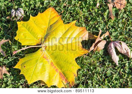 Fallen Autumn Leaves On Clover And Grass