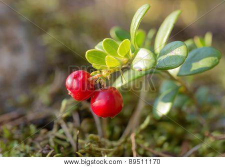Bush Of Ripe Cowberries