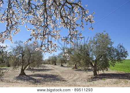 Pear Between Olives Tree