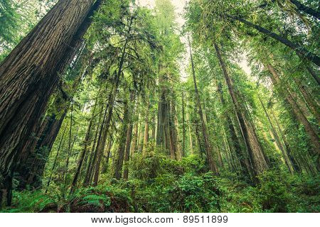 Giant Redwoods Forest