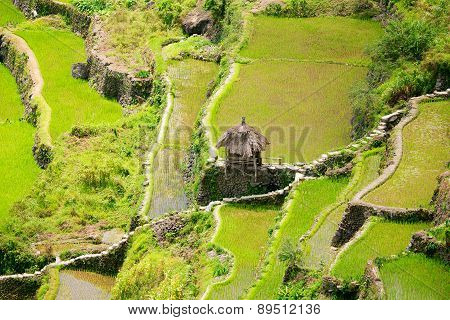 Rice Terraces In The Philippines. Rice Cultivation In The North Of The Philippines, Batad, Banaue.