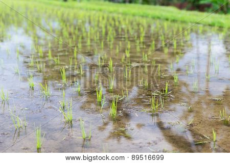 agriculture, planting and farming concept - rice field at plantation in asia