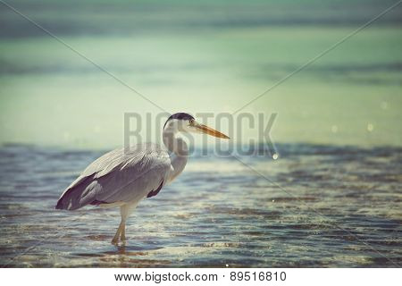 heron on Maldives