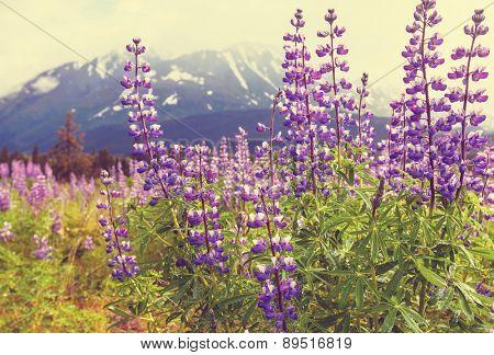 Mountain meadow in Alaska