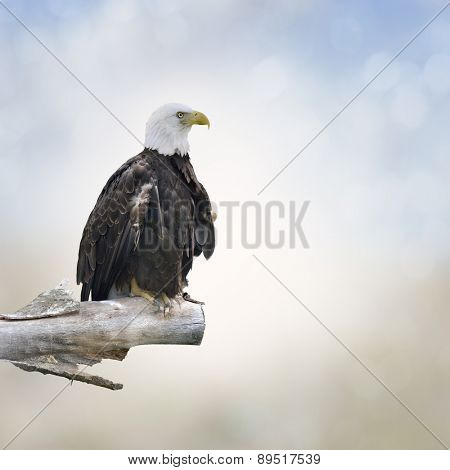 Bald Eagle Perched On A Log