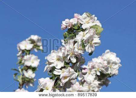 branch blossom apple tree and blue sky