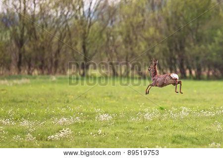 Buck deer on the run in the wild