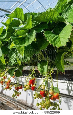 Hydroponic Strawberry Cultivation From Close