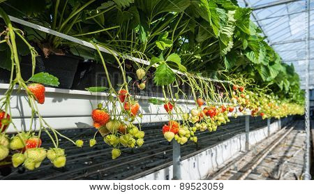 Hydroponic Strawberry Cultivation At An Ergonomic Working Height.