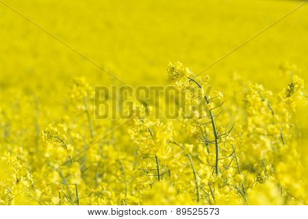 Rapeseed field, Cornwall, UK